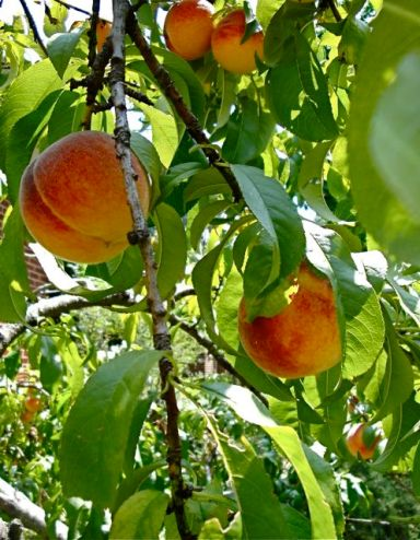 Peaches in peach tree