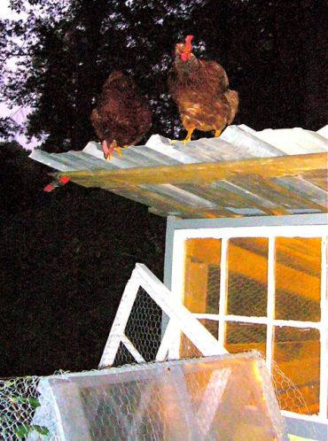 chickens standing on chicken coop